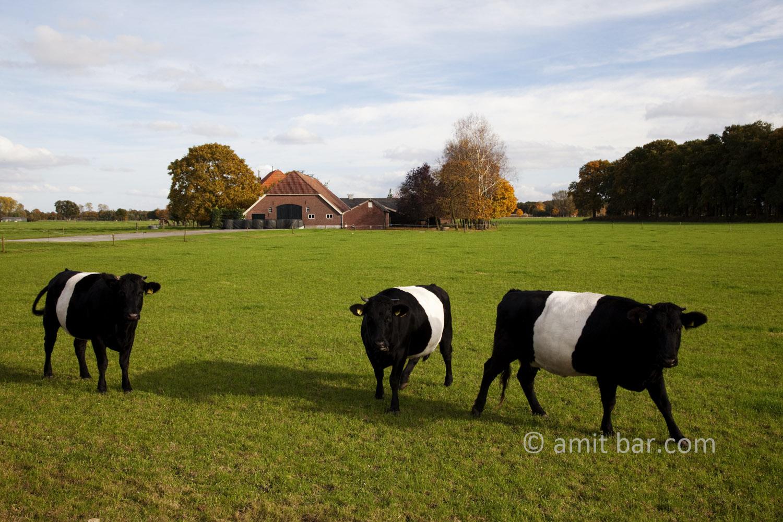 Autumn cows II: Autumn in De Achterhoek, The Netherlands