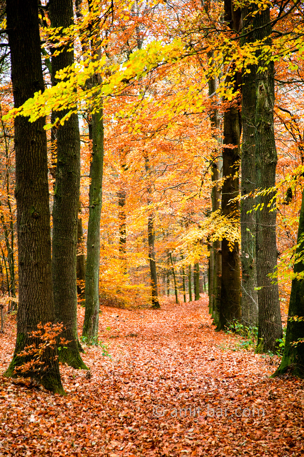 Beech trees in the autumn. Doetinchem, The Netherlands