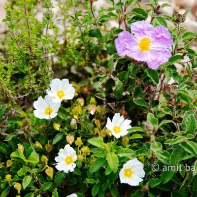 Carmel wild flowers