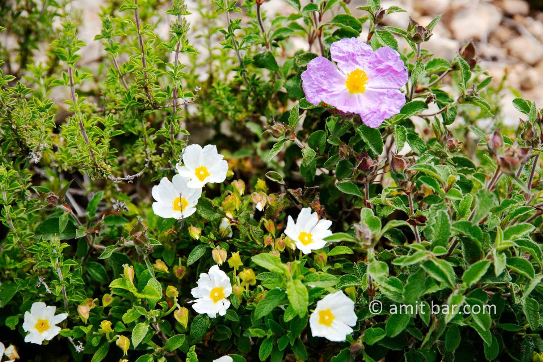 Carmel wild flowers I: wild flowers on mountain Carmel, Israel in the spring time