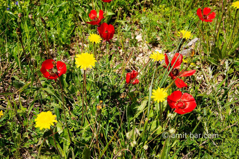 Carmel wild flowers II: wild flowers on mountain Carmel, Israel in the spring time
