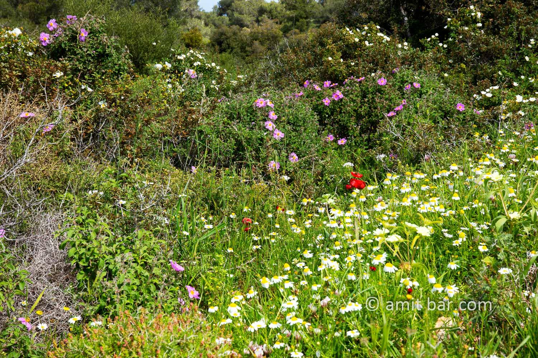 Carmel wild flowers III: wild flowers on mountain Carmel, Israel in the spring time