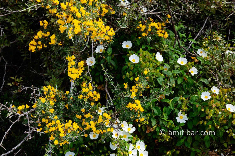 Carmel wild flowers IV: wild flowers on mountain Carmel, Israel in the spring time