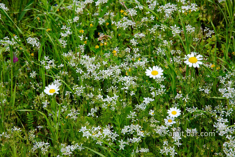 Carmel wild flowers IX: wild flowers on mountain Carmel, Israel in the spring time