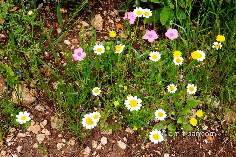Carmel wild flowers V: wild flowers on mountain Carmel, Israel in the spring time