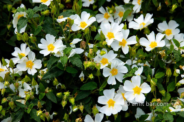 Carmel wild flowers VI: wild flowers on mountain Carmel, Israel in the spring time