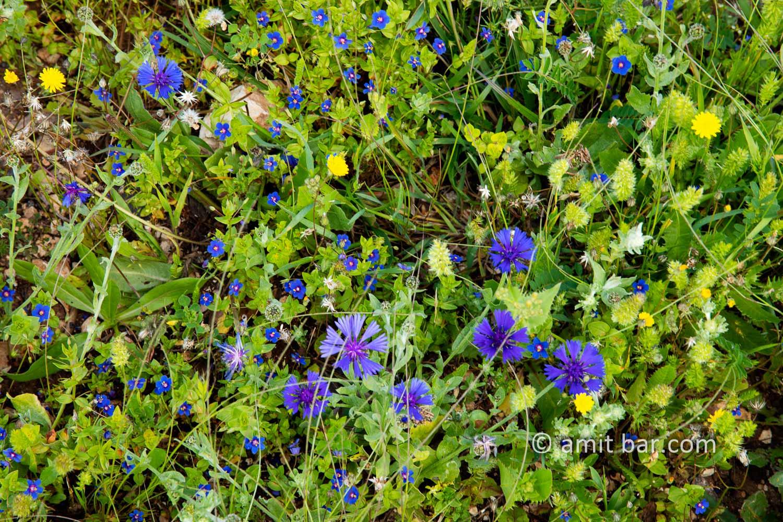 Carmel wild flowers VII: wild flowers on mountain Carmel, Israel in the spring time