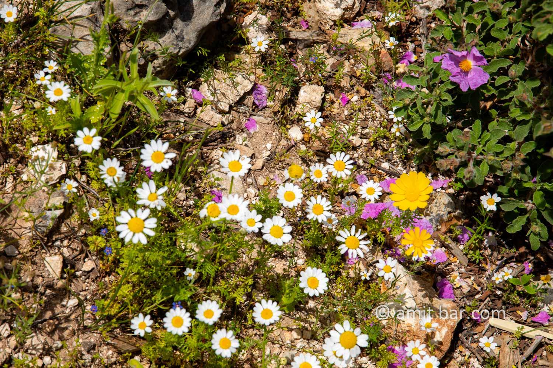 Carmel wild flowers VIII: wild flowers on mountain Carmel, Israel in the spring time