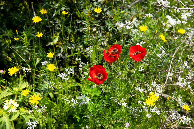 Carmel wild flowers X: wild flowers on mountain Carmel, Israel in the spring time