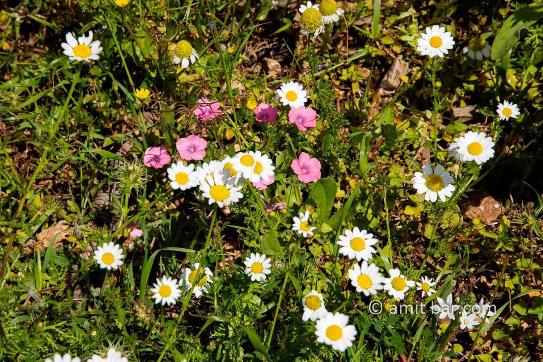 Carmel wild flowers XI: wild flowers on mountain Carmel, Israel in the spring time