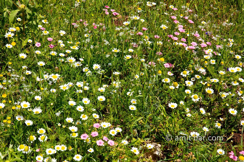 Carmel wild flowers XII: wild flowers on mountain Carmel, Israel in the spring time