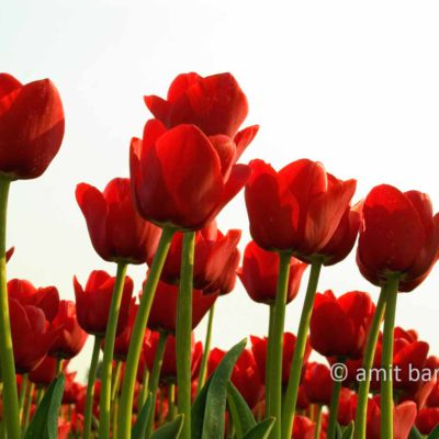 Dutch Spring- Red tulips