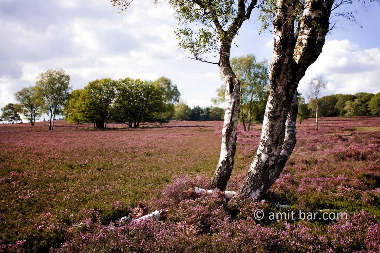 Heather field II: Heather field, The Netherlands