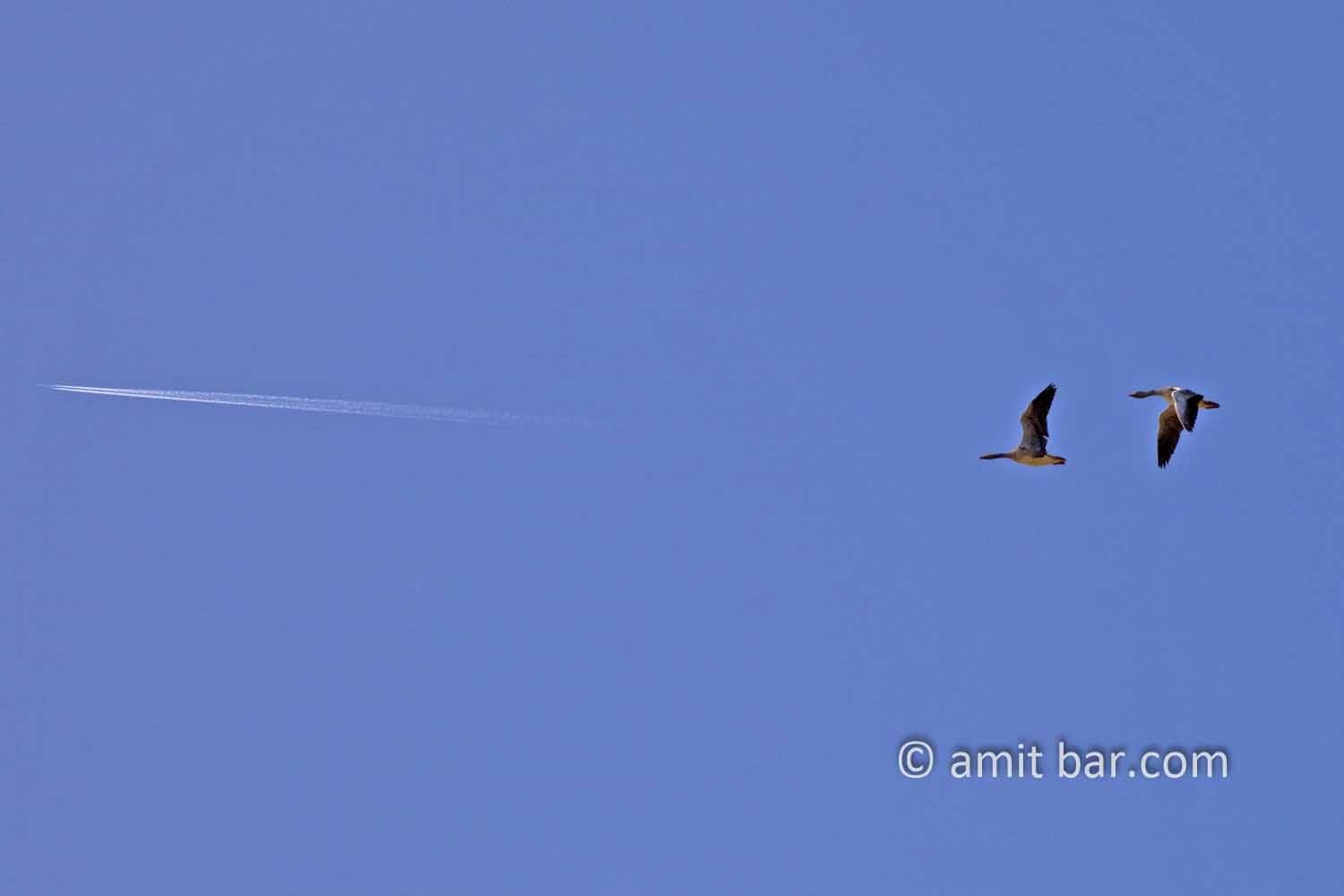 Leaving without a jetplane: Two geese flying behind an airplane