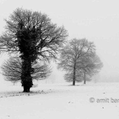 Oaks in snow
