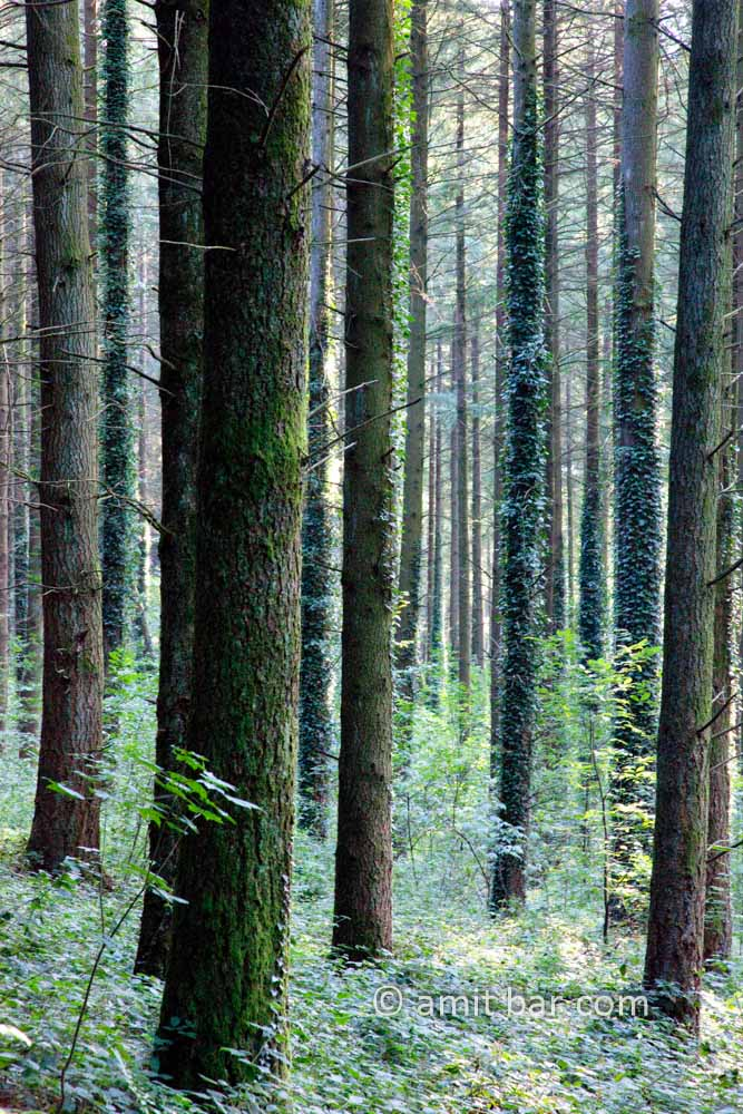 Pine trees: Pine trees in a forest at the Morvan, France