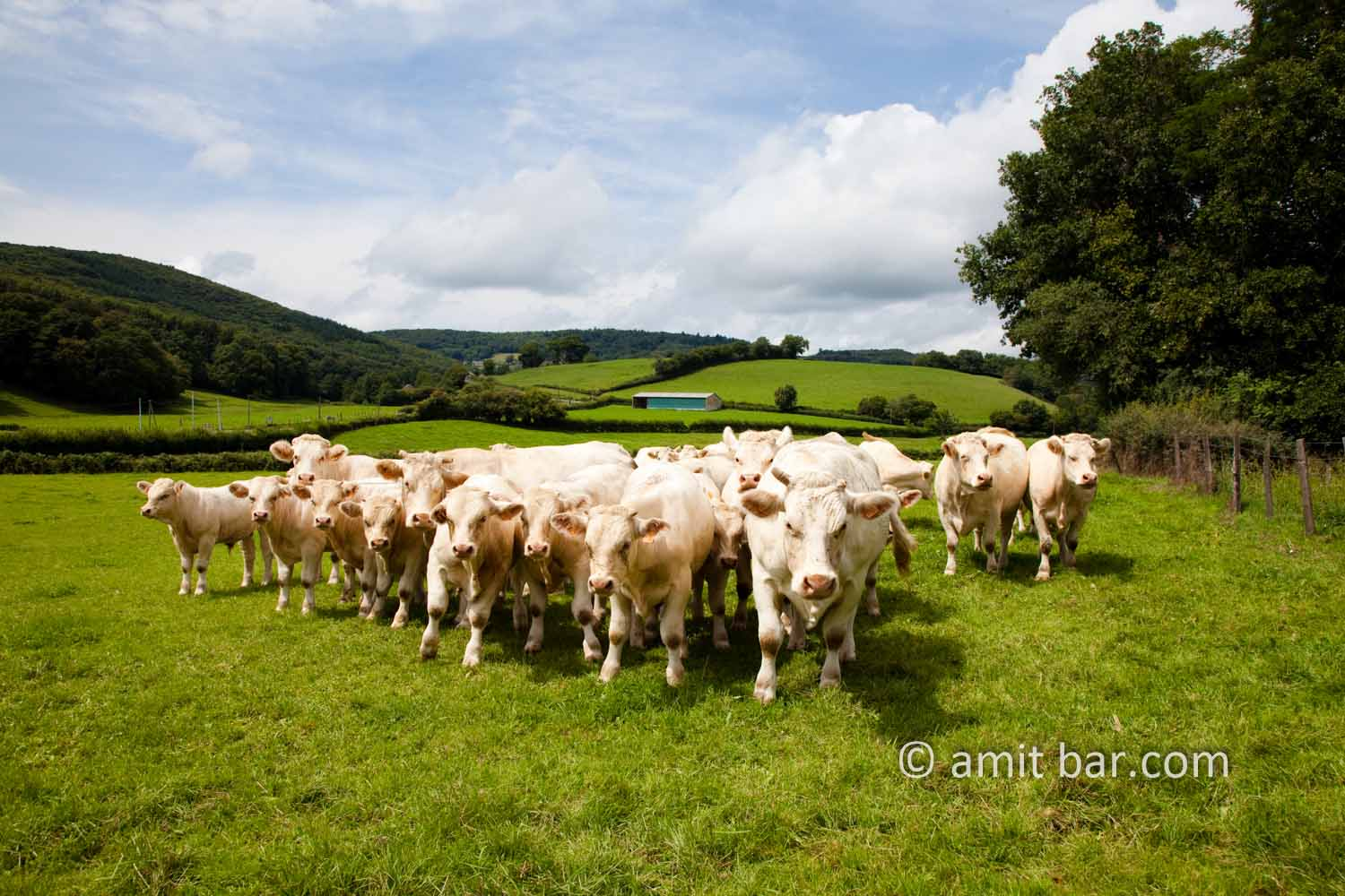 White cows: White cows in the Morvan, France