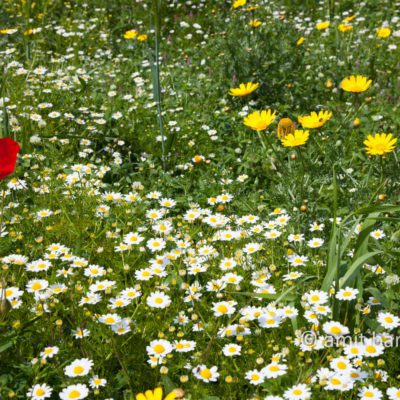 Wild flowers in Israel